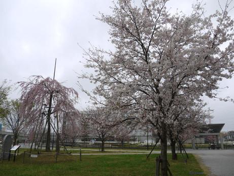20140331_sakura03