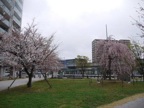 20140331_sakura05