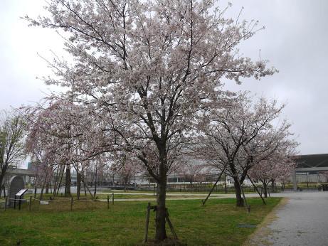 20140331_sakura10