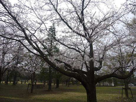 20140331_sakura11
