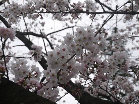 20140331_sakura12