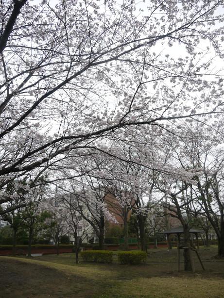20140331_sakura13