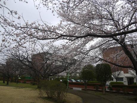 20140331_sakura15