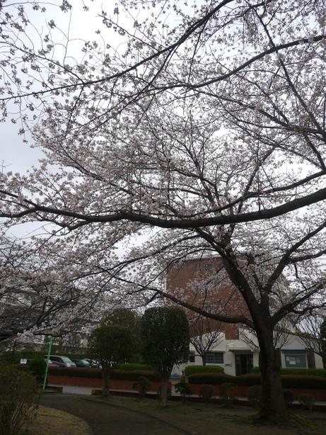 20140331_sakura16