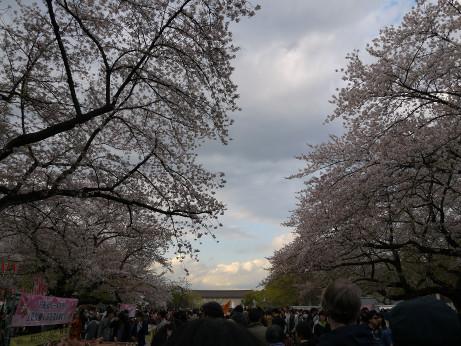 20140407_sakura1