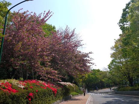 20140420_sakura2