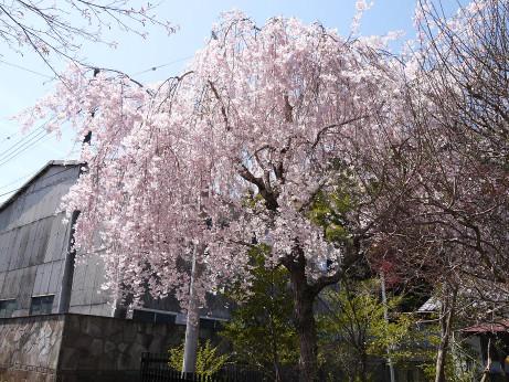 20140423_sidarezakura2