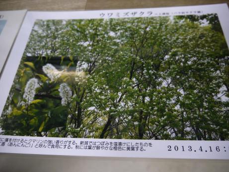 20140809_uwamizuzakura