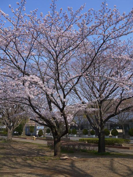 20150404_waseda_sakura_01