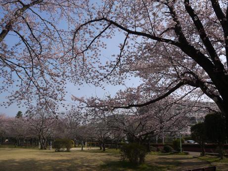 20150404_waseda_sakura_05