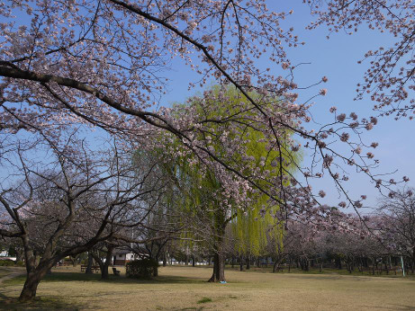 20150404_waseda_sakura_07