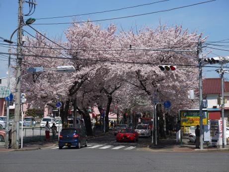 20150405_tokiwadaira_sakura_01