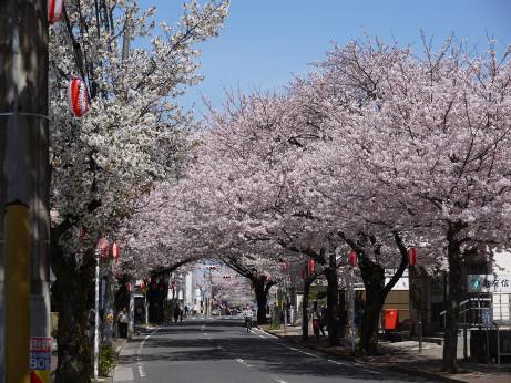 20150405_tokiwadaira_sakura_03