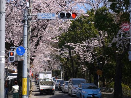 20150405_tokiwadaira_sakura_04