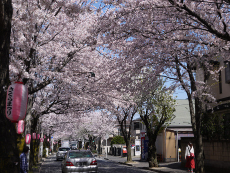 20150405_tokiwadaira_sakura_09