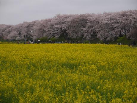 20150406_nanohana_01