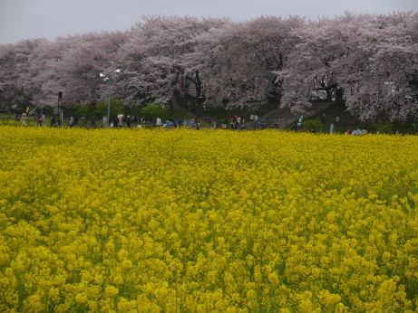 20150406_nanohana_03