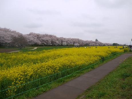 20150406_nanohana_06