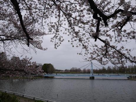 20150407_sakura_05