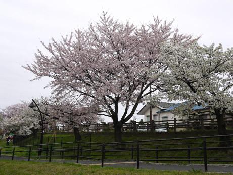 20150407_sakura_11
