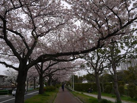 20150407_sakura_12