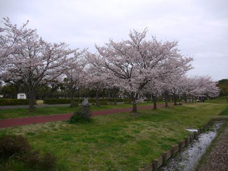 20150408_sakura_13