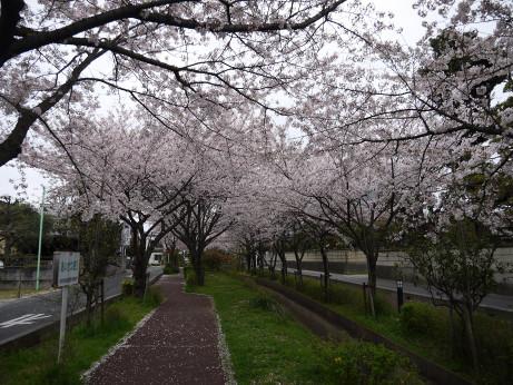 20150409_sakura_01