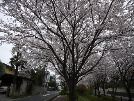 20150409_sakura_02