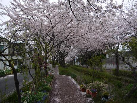 20150409_sakura_05