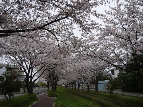 20150409_sakura_06