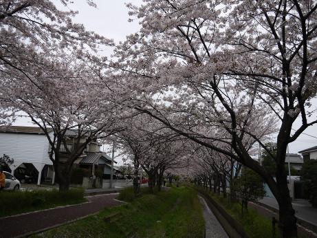 20150409_sakura_08