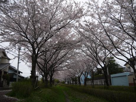 20150409_sakura_09