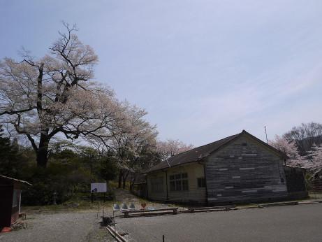 20150424_omakizakura_1