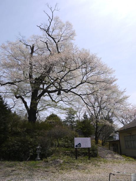 20150424_omakizakura_2