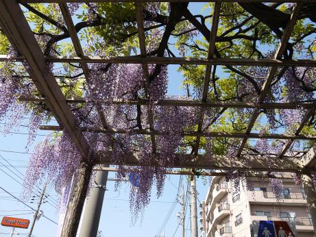 20150428_fujidana_3