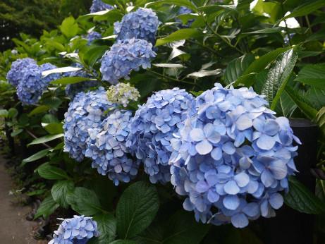 20150629_ajisai_03