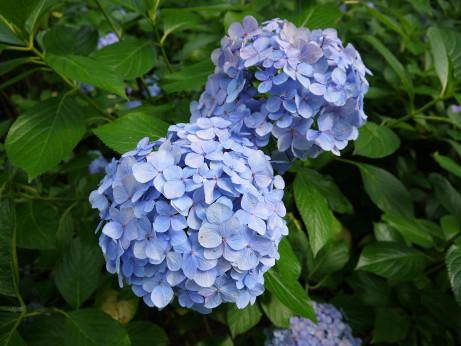 20150629_ajisai_09
