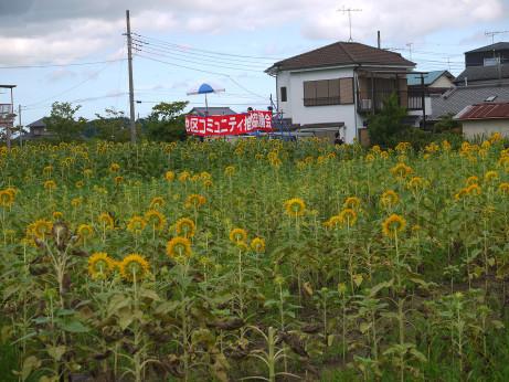 20150824_himawari_05