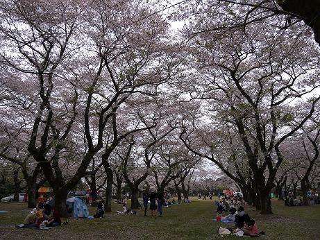20160412_sakura_park