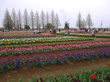 20160412_tulip_03