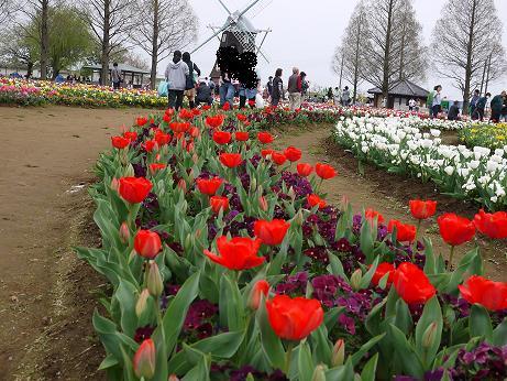 20160412_tulip_05