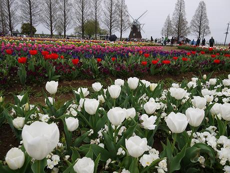 20160412_tulip_06