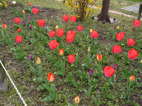 20160415_tulip