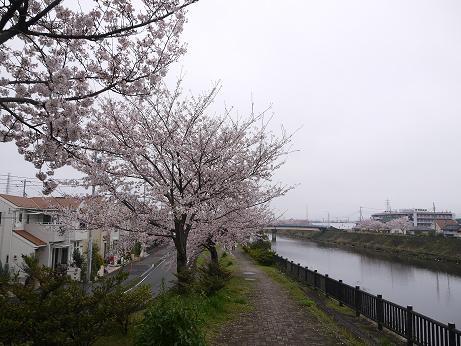 20170414_sakura_03