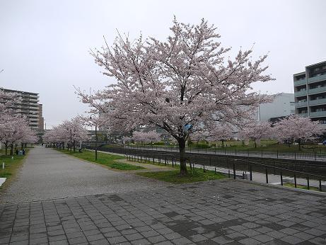20170415_sakura_06
