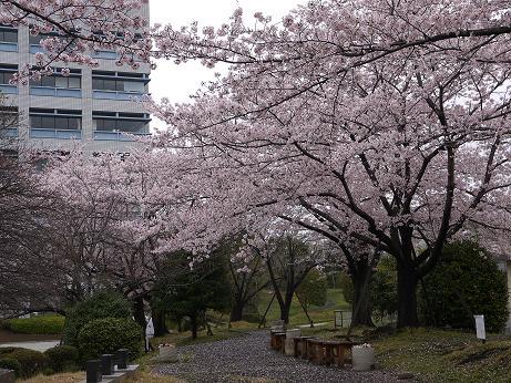 20170419_sakura_03