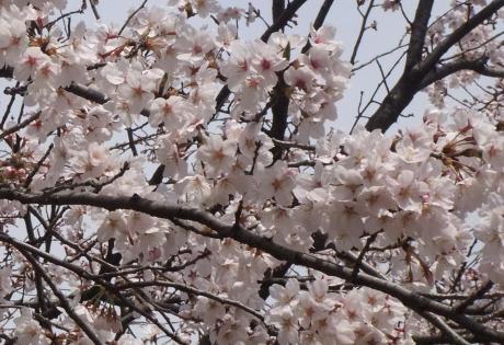 20110048_sakura3