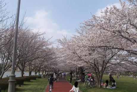 20110412_misato_sakura4