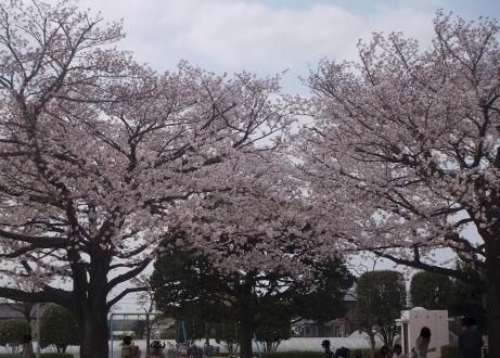 20110414_sakura_park3