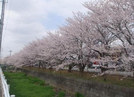 20110415_sakura_douri2